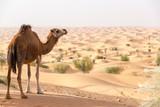 Camel Overlooking the Sahara Desert - 247432411