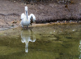 dalmatian pelican standing at the water side, Near threatened bird from Europe