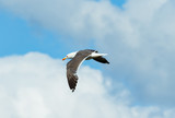 Mantelmöwe bei Helgoland