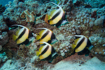Group of butterflyfish