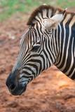 a beautiful black and white on zebra