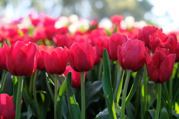 field of red tulips flowers