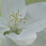 white apple flower in a sunny garden, macro