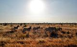 Zebras under the hot african sun, Kenya
