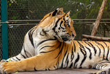 Tigers in open enclosure unchained and wild