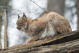 Eurasian lynx sitting on a fallen log