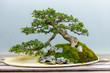 Leinwandbild Motiv Bonsai tree around 60-70 years old