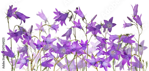 group of isolated Spreading bellflowers - 247564221