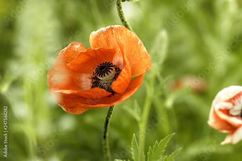Single red poppy flower on blurred grass background, macro. - 247566282