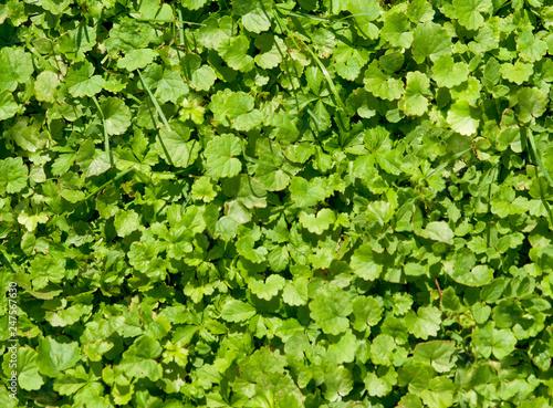 fototapeta na ścianę The green grass is lit by the sun.