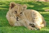 Löwen Baby