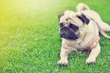 Lonely cute brown Pug lie down on green lawn