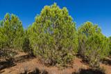 Pinos joven en crecimiento, plantación de pinos - 247594022