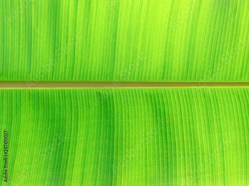 Green leaves background. Leaf texture - 247610027