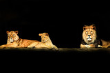 Lion's family on the black background