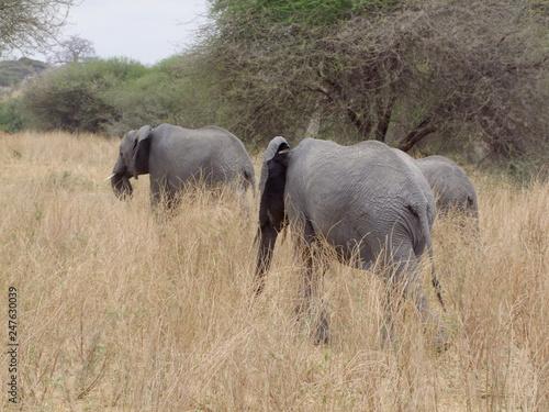 Elefanten im Tarangire Nationalpark © gummibärchen