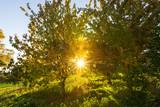 Abendsonne zwischen Bäumen - 247636864