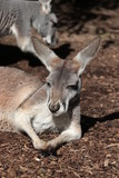 Lazy kangaroo sleeping in the sun, portrait, Australia