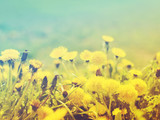 Fototapeta Fototapeta z dmuchawcami - Gentle spring background with blooming dandelions, toned, soft focus © isavira