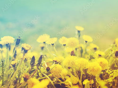 Gentle spring background with blooming dandelions, toned, soft focus - 247653674
