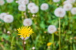 Yellow young dandelion among the old gray dandelions. Different concept - 247657076