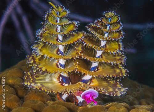 Spirobranchus giganteus,Christmas tree worms,