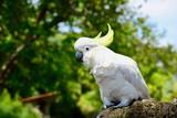 A close up photo of a white sulphur-crested cockatoo (Cacatua galerita), native to Australia.