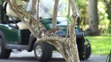 Grey squirrel in tree with golf cart passing behind - 247687219