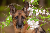 dog German shepherd breed peeping from the branches of a blossoming apple tree, spring, close-up portrait