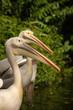 Great White Pelican(Pelecanus onocrotalus)