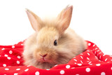 Brown adorable baby rabbit on red fabric background.