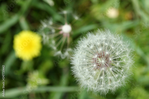 dandelion seed and yellow flower