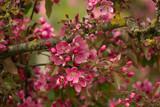Rosa blühende Zweige des Zierapfelbaums