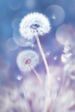 Fototapeta Fototapeta z dmuchawcami - White dandelions in the field. Image in delicate pastel blue and pink colors. Natural spring and summer background. © delbars