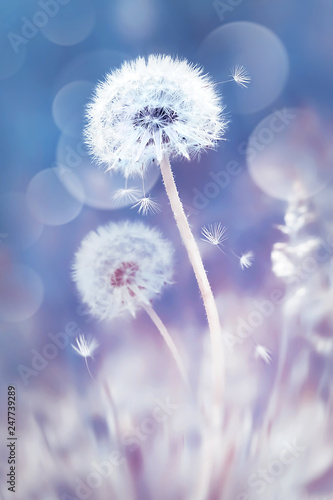 White dandelions in the field. Image in delicate pastel blue and pink colors. Natural spring and summer background. - 247739289