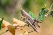 Cute Grasshopper in the macro world