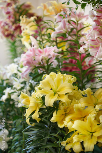 Multi-colored lilies. - 247752080