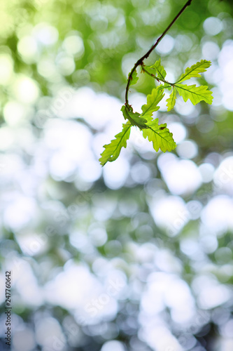 Fresh green oak branch leaves isolated on blur background. - 247760642