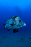 Close up Fish Face in Crystal Clear Blue Ocean in Japan - 247769260