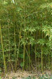 Bamboo grove, bamboo grows in the Park