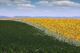 sunflower and soybean field in summer agriculture