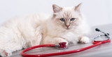 Beautiful  sacred cat of burma with stethoscope
