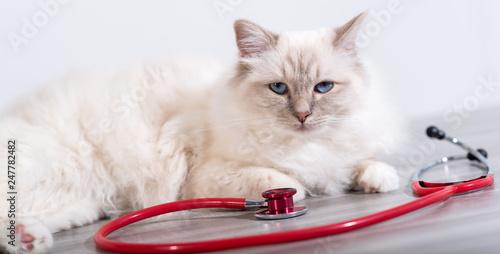 Beautiful  sacred cat of burma with stethoscope