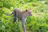 A leopard walking in the forest in Samburu Park - 247784433