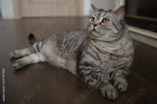 British breed cat lies on the floor