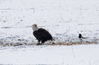 Bald eagle telling a magpie to go away while he eats