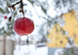 A forgotten apple in the apple tree in the winter.