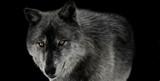 Schwarzer Wolf auf schwarzem Hintergrund