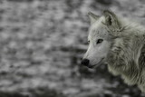 Weißer Wolf Potrait