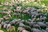 flook of sheep - 247826050